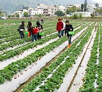 草莓采摘-真正绿色无污染