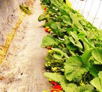 缘源圆草莓采摘园
