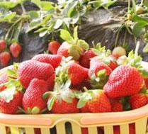 小燕草莓采摘园