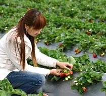 昌平草莓采摘-妙水江南