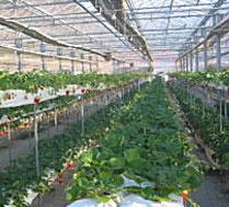 卢树英草莓采摘园
