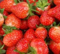 黑庄户草莓采摘基地