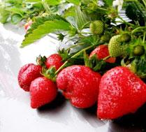解婶草莓采摘