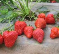草莓采摘北京怀柔大周各庄