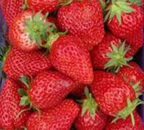 红颜草莓采摘、团队有优惠哦