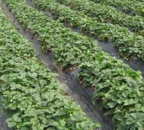 百元京郊游 怀柔采摘草莓