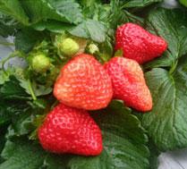 真人CS春季植树 草莓采摘