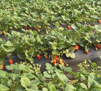 原生态草莓采摘园