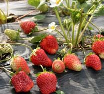 仅40元健康富硒草莓