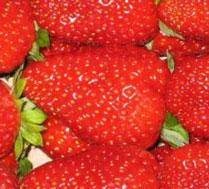 户外草莓采摘