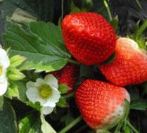 顺义常佳草莓采摘园