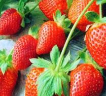 鲜美草莓采摘 接受企业用户