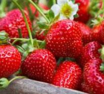有机 奶油草莓采摘