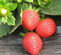 长青奶油草莓采摘园
