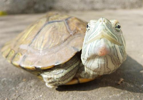 巴西龟怎么分公母呢图片