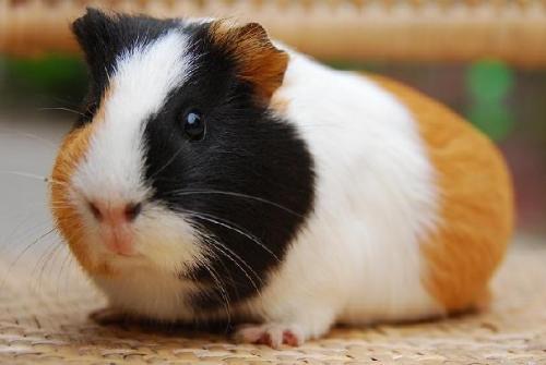 荷兰猪怎么分公母呢图片