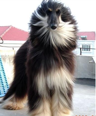 宠物狗种类之阿富汗猎犬图片