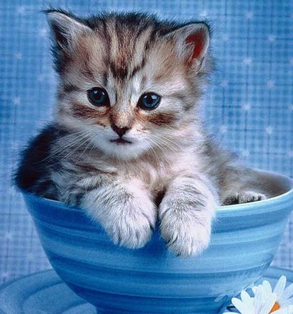 宠物猫种类之茶杯猫