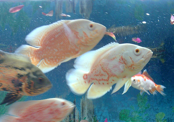 地图鱼怎么分公母呢?