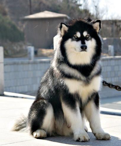 阿拉斯加雪橇犬难养_巨型阿拉斯加犬-58同城