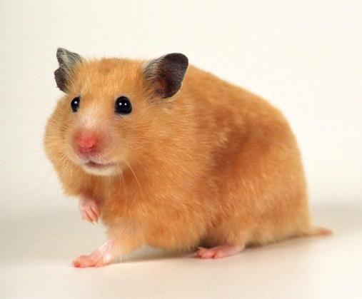 我家这是是淡黑色的,背上有一条仓鼠的毛,黄色品种啊?蝴蝶梦丽贝卡是好是坏图片
