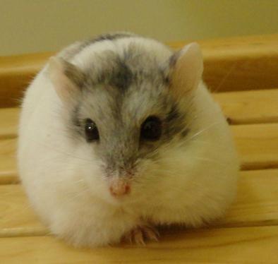 仓鼠不能吃的食物