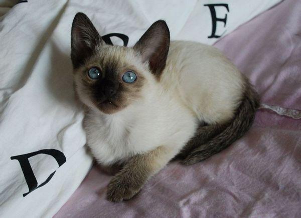 暹罗猫是泰国的宫廷猫,也是世界上最名贵的短毛猫之一.